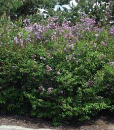 SHRUBS DECIDUOUS Syringa species Lilac Large shrubs known for their beautiful, fragrant blossoms in spring.