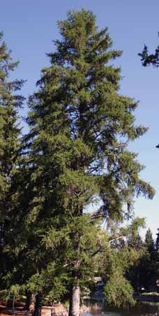 TREES CONIFER Ponderosa pine and western larch are among the most fire-resistant conifers due to their