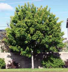 TREES DECIDUOUS Acer ginnala Amur maple Small tree or