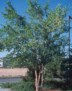 TREES DECIDUOUS Betula species Birch An ornamental tree with bright-green foliage, changing to yellow in fall.