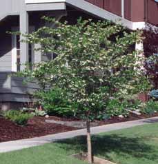 TREES DECIDUOUS Crataegus species Hawthorn Small ornamental tree