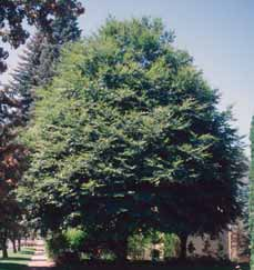 zone 4 7 Fraxinus pennsylvanica Green ash Large, upright shade tree
