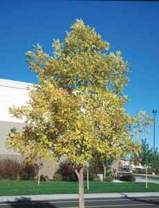 shade tree with a densely pyramidal to rounded growth habit.