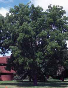 TREES DECIDUOUS Juglans species Walnut A large tree with spreading growth habit.