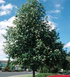 TREES DECIDUOUS Sorbus aucuparia Mountain ash An attractive, ornamental tree with an upright, oval growth habit. Displays showy white flowers in spring, followed by orange-red fruit that persists.