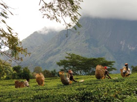 Working our way to a more equal world Tea picking in Mulanje, Southern Malawi (2009). Photo: Abbie Trayler-Smith Maria lives in Malawi and works picking tea.