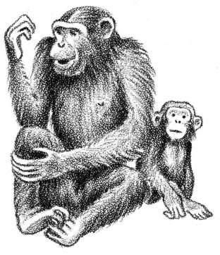 Evidence for spontaneous visuomanual imitation in chimpanzees is not much stronger, although with persistent training they can learn several hundred hand signs.