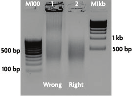 15. If chromatin preparations were successful, the aliquots stored at -80 C from Section B, Step 4 can be used to perform the ChIP reactions in Section E.