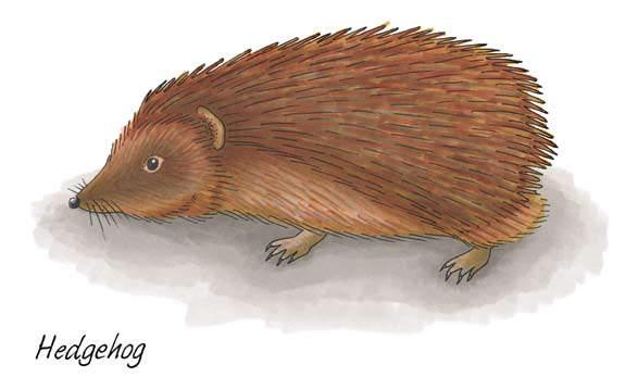 Junior Infants: Hedgehog Hedgehog Latin name Erinaceus europaeus Irish name An Gráinneog Hedgehogs were introduced to Ireland by the Danes as a source of food.