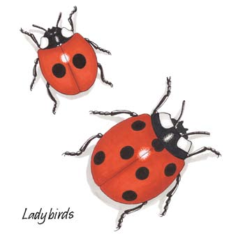 Junior Infants: Ladybird Ladybird Latin name Coccinella 7-punctata Irish name Bóinn Dé Ladybirds are very common and recognisable insects.