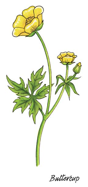 Senior Infants: Buttercup Buttercup Latin name Ranunculus repens Irish name Fearbán and also Cam an Ime Buttercups are wild flowers that grow in grassy fields that are not mowed.