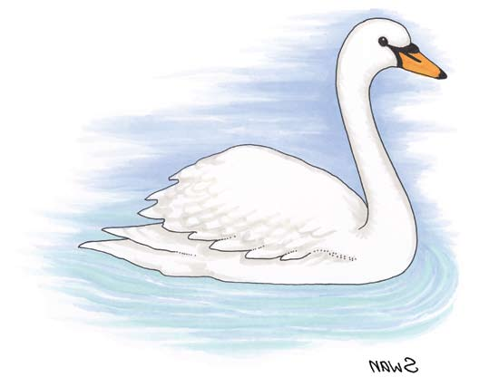 Senior Infants: Swan Swan Latin name Cygnus Irish name Eala The swan is unmistakable. It is a large white bird with a long neck and an orange beak and it lives on ponds, lakes and canals.