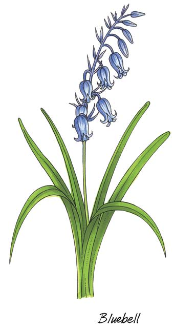 First Class: Bluebell Bluebell Latin name Hyacinthoides non-scripta Irish names Bú muc, Coinnle corra and Cloigín gorm Bluebells are woodland flowers that appear in late spring and early summer.