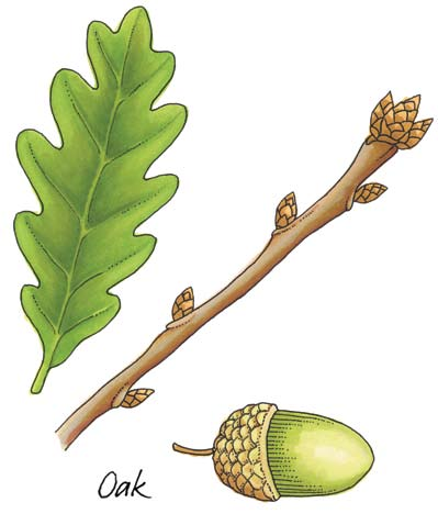 First Class: Oak Oak Latin name: Quercus Irish name: Dair The oak tree is described as the king of the woods.
