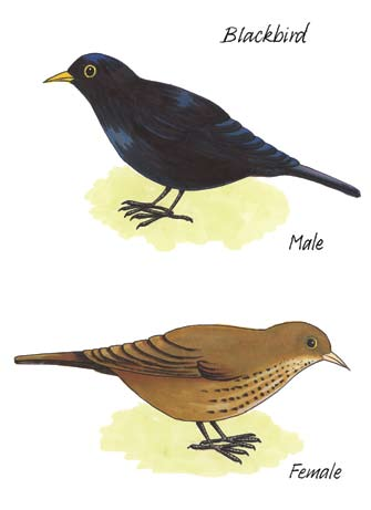 There are nearly two million breeding pairs in Ireland and the song of the male is very familiar particularly as he is generally the very first to lead off the dawn chorus each morning in early