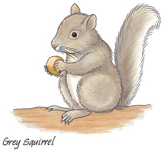 Squirrels collect nuts in autumn in order to have them to eat in the winter when there is no food available for them (if they were hibernating, like say hedgehogs or bats, they would be fast asleep