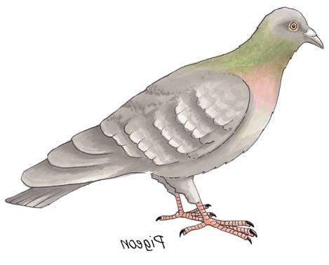 Second Class: Pigeon Pigeon Latin names Columba livia and Columba palumbus Irish names Colm aille and Colm coille Pigeons are familiar to everyone whether they live in cities and towns or in rural