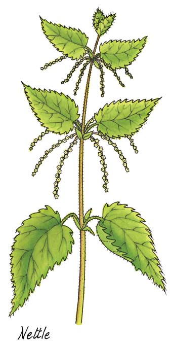 Third Class: Nettle Nettle Latin name Urtica dioica Irish name Neantóg The nettle is a familiar plant to everyone sometimes alas from the experience of getting stung by it.