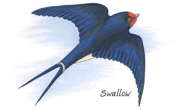 The nests are built from mud which both parents scoop up in flight as they fly over muddy ground in rural areas. They are lined with feathers which the swallows pluck from themselves.