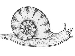 Third Class: Snail Snail Latin name Helix aspersa Irish name Seilide garraí Snails belong to a group of minibeasts called Molluscs. They all carry a shell made of calcium, which is part of their body.