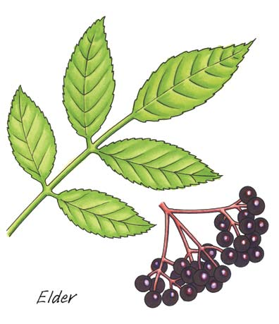 Fourth Class: Elder Elder Latin name Sambucus nigra Irish name Trom (The town of Trim in Co. Meath is Beal Atha Trom) The elder is a very common native tree.