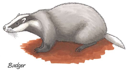 It is a native Irish species earliest records are from a wedge grave at Lough Gur in Co. Limerick. Badgers live in setts which they excavate underground.