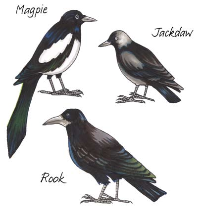 Sixth Class: Crows Crows Latin names Corvus (crow) Irish names Cág: (jackdaw) Préachán: (rook) Snag Breac: (magpie) A crow is the common name given to the large black birds that walk around the