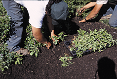 Seeds should be applied and lightly incorporated into the soil surface using a rake.