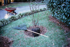 Dig a planting hole slightly shallower than the rootball and two to four times its width. In dense or poor draining soils, the planting hole can be dug only 2/3 the depth of the rootball.