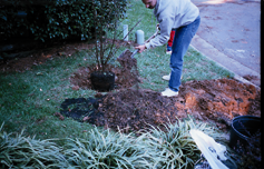 Place the plant in the planting hole and blend the stockpiled soil with the compost until uniform.