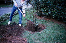 Step 4: Step 5: Step 6: Apply the amended soil around the rootball, firming it occasionally to remove air pockets and to assure a firm footing. Tamping or watering may be used to firm the plant.