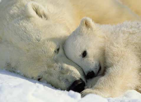 polar bears Norbert Rosing/National Geographic Stock Arctic ground squirrel Yva Momatiuk & John Eastcott/Minden Pictures Left: A polar bear naps with her cub.