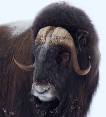 Top: A muskox sports a dense, wooly coat, small comfort as more frequent ice storms glaze over tundra vegetation and make it more difficult for this grazer to feed.