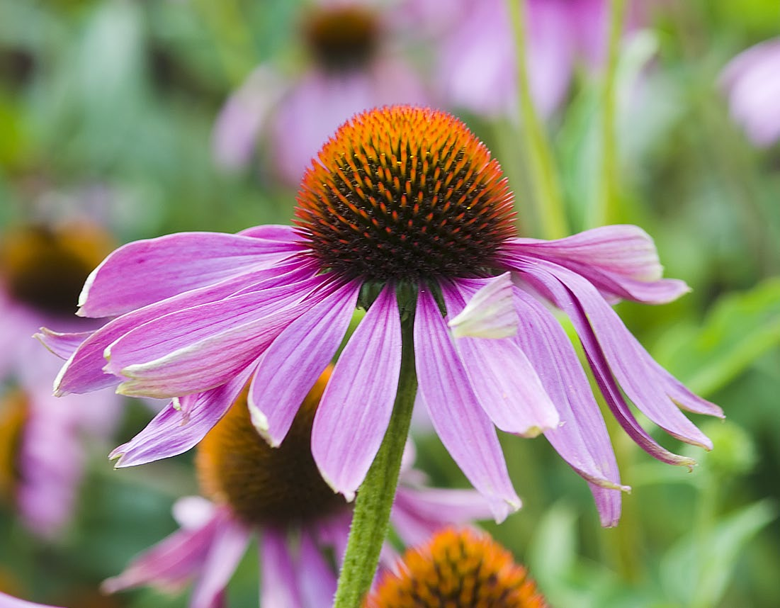 species of echinacea plants (Echinacea purpurea) might reduce the duration and severity of colds in adults.