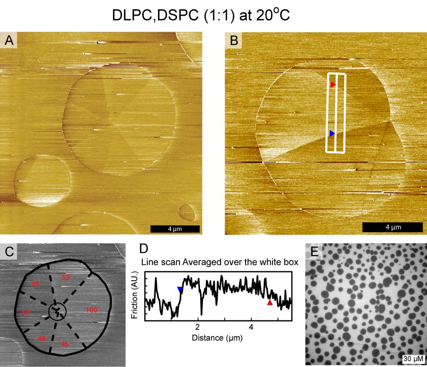 Chapter 6 Orientational Texture in Monolayers 6.4 AFM Friction Reveals Orientational Texture in Monolayers Figure 6.8 AFM friction images on DLPC, DSPC (1:1) monolayers on a solid substrate of mica.
