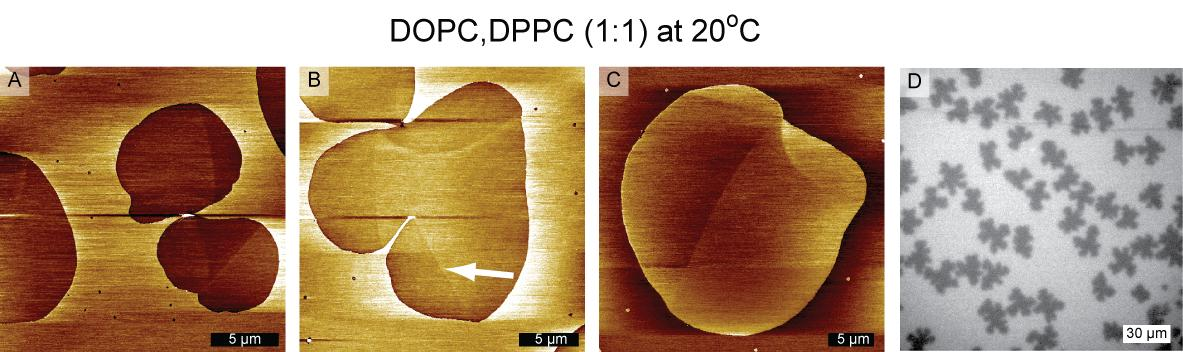 Chapter 6 Orientational Texture in Monolayers 6.4 AFM Friction Reveals Orientational Texture in Monolayers Figure 6.10 AFM friction images on DOPC, DPPC (1:1) monolayers on a solid substrate of mica.