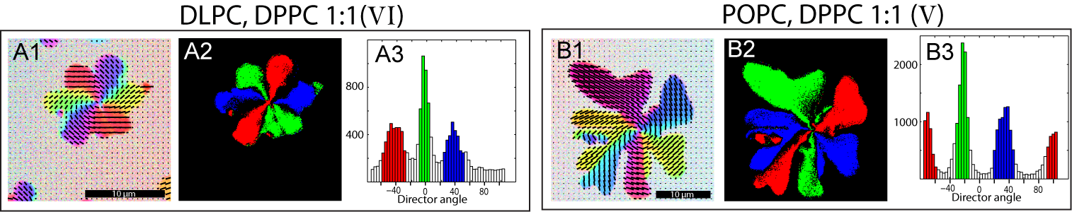 Chapter 5 Influence of Lipid Composition on Texture in Lipid Bilayers 5.3 Distribution of Orientations within the Domains uniform texture with no change of orientation across the entire domain.