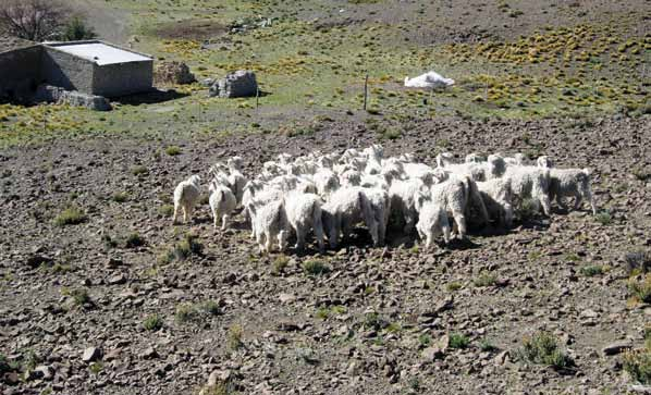 Biotechnologies at Work for Smallholders: Case Studies from Developing Countries in Crops, Livestock and Fish Patagonian Angora goats in the INTA nucleus flock Martín Abad The following is a summary