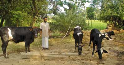 chapter 3 Case Studies in the livestock Sector Well grown heifers; the heifer on the left is two months pregnant at 15 months of age CDVF /Mohammed Shamsuddin Conclusions The coverage of AI in
