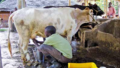 chapter 3 Case Studies in the livestock Sector The eradication of the tsetse fly Glossina austeni and the disease trypanosomosis from Unguja Island allowed the maintenance of upgraded cattle breeds