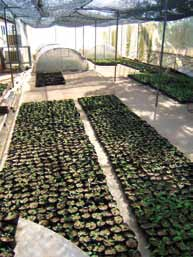 chapter 2 Case Studies in the Crop Sector from left to right In vitro plantlets of banana after micropropagation Karin Nichterlein Banana plantlets transferred from in vitro conditions to potting