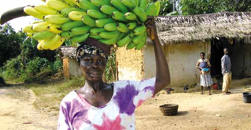 chapter 2 Case Studies in the Crop Sector A farmer carrying hybrid bananas from her farm in the Assin District Beloved Mensah Dzomeku In another study (Dzomeku et al.