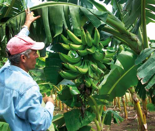 chapter 2 Case Studies in the Crop Sector Plantain cultivar 'INIVIT PV 06-30' propagated by somatic embryogenesis and cultivated by farmer cooperatives Jesus Garcia Ruiz References López, J. 2006.