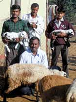 chapter 3 Case Studies in the livestock Sector from left to right Mr Pisal in 2012 with the breeding ram carrying one copy of the FecB gene born in his flock NARI /Chanda Nimbkar Mr Kavitke (middle)