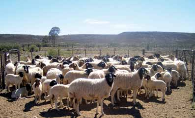 Biotechnologies at Work for Smallholders: Case Studies from Developing Countries in Crops, Livestock and Fish A herd of Namaqua Afrikaner ewes and lambs at the Carnarvon Experimental station Mervin