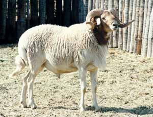 breeds. In 1995, there were approximately 2 000 Namaqua Afrikaner sheep left in the country and more recent surveys suggest that the population has declined in number since then (http://dad.fao.org).