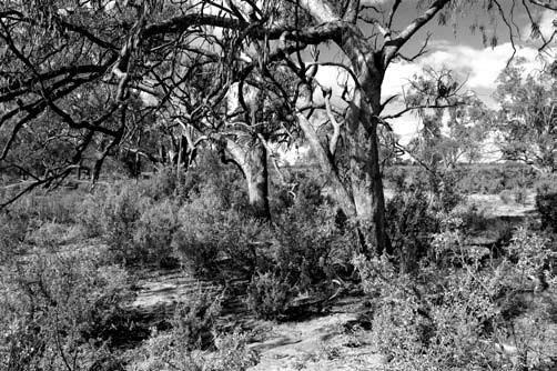 434 Cunninghamia 9(3): 26 Benson et al, Plant Communities of the New South Wales Western Plains and loss of fauna species.