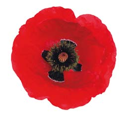 The poppy During the First World War, red poppies were among the first living plants that sprouted from the devastation of the battlefields of northern France and Belgium.