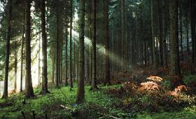 DECC research shows that wood from the trunks of conifers such as these are best used in construction and furniture rather than for energy production. David J Slater (rspb-images.