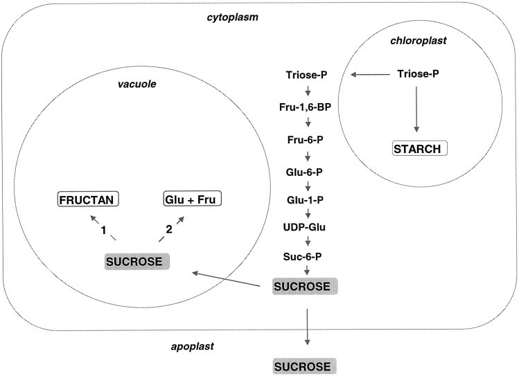 352 Vijn and Smeekens Plant Physiol. Vol. 120, 1999 Figure 1. Schematic representation of carbohydrate metabolism in a plant cell.